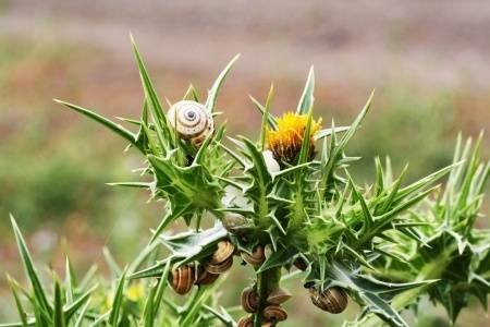 Snails love blessed thistle.