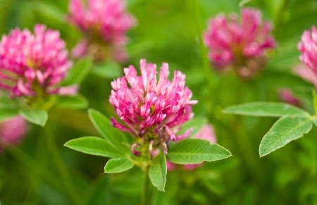 red-clover-in-field