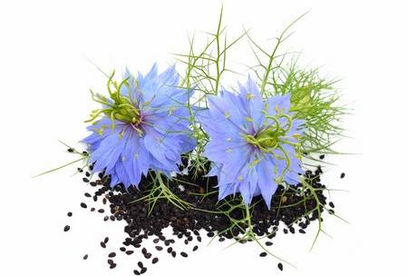 Black seeds powerful health benefits essiac facts the plant is an annual flowering plant with linear leaves and dainty pale blue to white flowers the ripe fruit capsule yields the numerous black seeds mightylinksfo