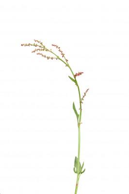 Rumex-acetosella