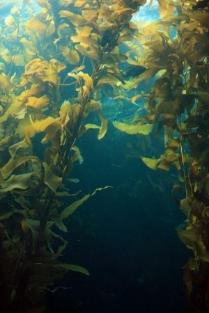 giant-kelp